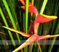 bali-birdofparadise