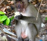 phi-phi-island-monkey