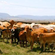 Paddock to Plate – A trip to Jocelyn Hancock's Farm Part 1
